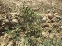 Plantación de borde, Coscoja