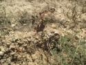 Plantación de borde, Rosa canina