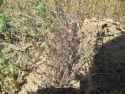 Plantación de aromáticas, Tomillo
