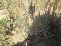 Plantación de aromáticas, Lavándulas