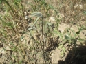 Plantación de aromáticas, Salvia