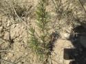 Plantación de aromáticas, Romero, es la especie mejor adaptada en las condiciones de San Mateo