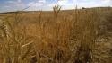 Estado de los cultivos en Ayoó de Vidriales, Cereal