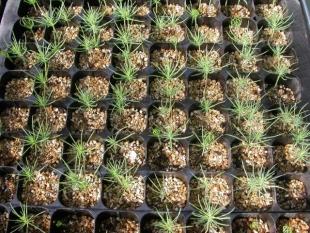 Preparación de las plantas y seguimiento de germinación